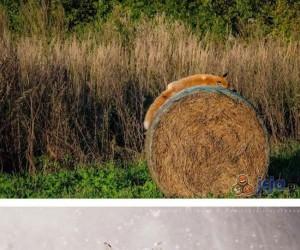 Kompilacja zdjęć dla miłośników lisów