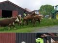 Sfochowana krowa