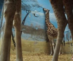 Naiwna żyrafa