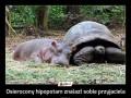 Osierocony hipopotam znalazł sobie przyjaciela