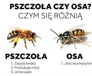 Pszczoła czy osa?