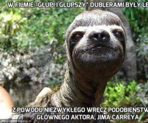 """W filmie """"Głupi i głupszy"""" dublerami były leniwce"""