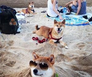 Pieseły na plaży, wow