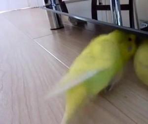 Papużka ze swoją ulubioną piłką