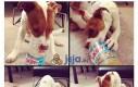 Pies o złotym sercu