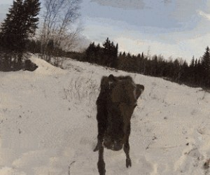 W Rosji to nie Ty polujesz na łosie, to one polują na Ciebie