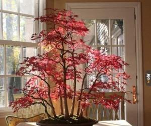 Majestatyczne drzewko bonsai