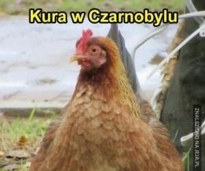 Kura w Czarnobylu
