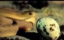 Wężeł zjada jajko i wypluwa skorupkę