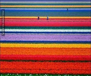 Pola kwiatów w Holandii