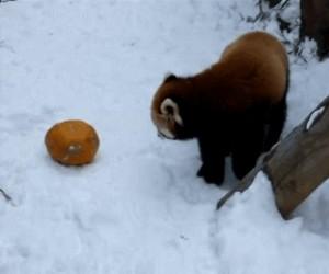 Panda mała vs. dynia!