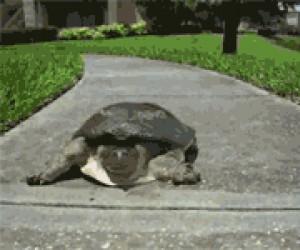 Powolny jak żółw?