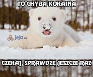 Miś polarny wciąga śnieg