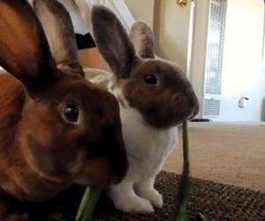 Romantyczne króliczki