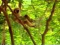 Małpa trollująca tygrysa