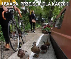 Uwaga, przejście dla kaczek!