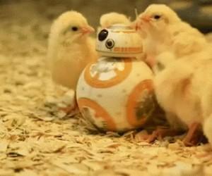 BB-8 na planecie małych kurczaczków