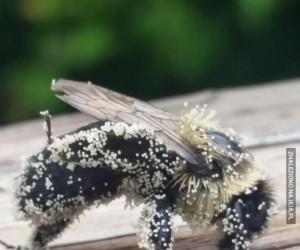 Pszczoła pokryta pyłkiem