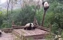 Dlatego pandy są zagrożone wyginięciem