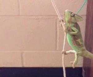 Kameleon taki majestatyczny