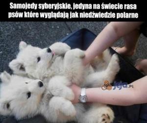 Niedźwiadkowe psiaki