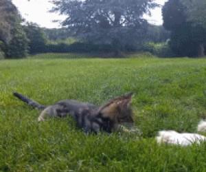 Zabawa wielkiego bernardyna z małym kociakiem