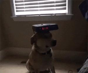 Pies zawsze w pogotowiu