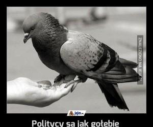 Politycy są jak gołębie