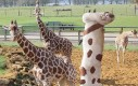 Jakaś dziwna ta żyrafa...