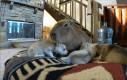 Kapibara i szczeniaczki