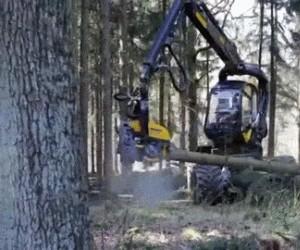Jak dziś ścinają drzewa