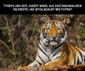 Tygrysia skóra