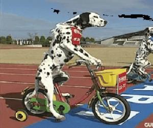 Wyścig dalmatyńczyków