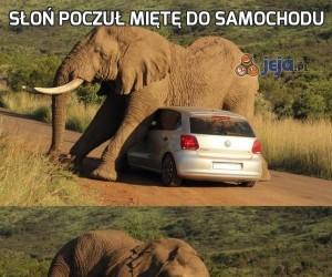 Słoń poczuł miętę do samochodu