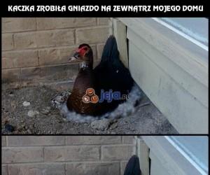 Kaczka zrobiła gniazdo na zewnątrz mojego domu