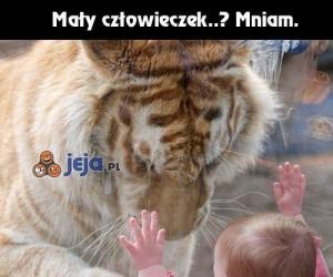 Biedny, głodny tygrys