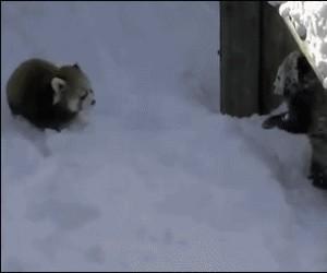 Czerwone pandy pierwszy raz widzą śnieg