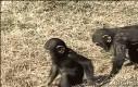 Z życia małp