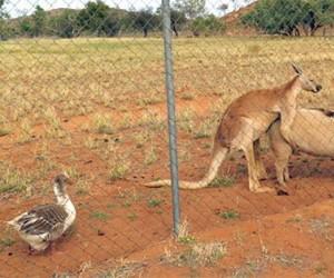 Ach, ta Australia...