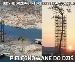 Jedyne drzewo, które przetrwało tsunami