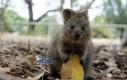 Fotogeniczny wombat