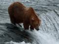 Zamach na niedźwiedzia!