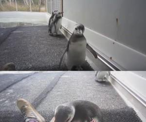 Pingwin Roman