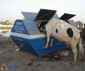 Krowa przy paśniku
