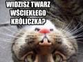 Słodki koteł/wściekły królikeł
