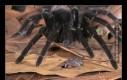 Niektóre gatunki tarantuli przyjaźnią się z małymi żabkami