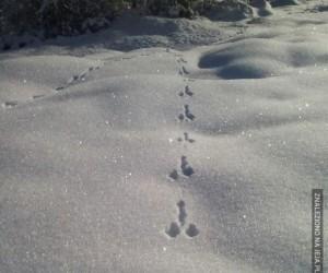 To tylko ślady królika w śniegu