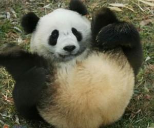 Kolory pandy