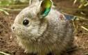 Najmniejszy królik świata