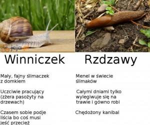 Ślimak ślimakowi nierówny